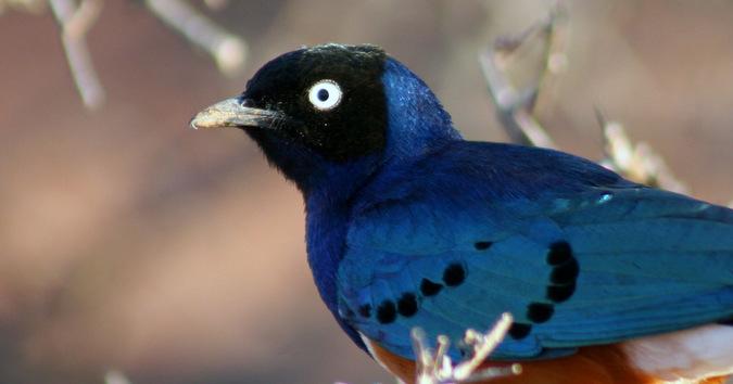 Superb starling, bird