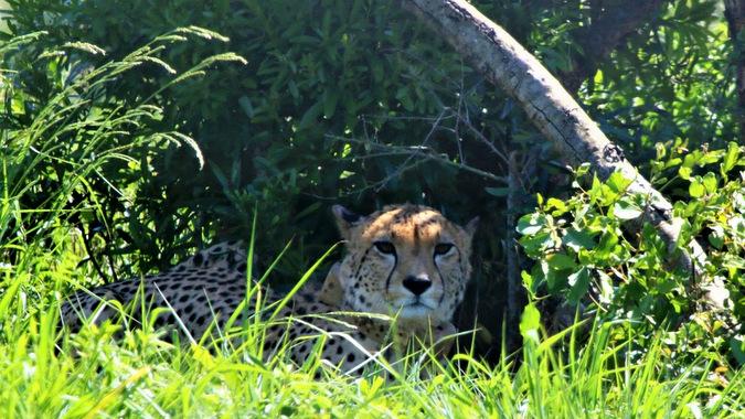 Cheetah lying in the shade