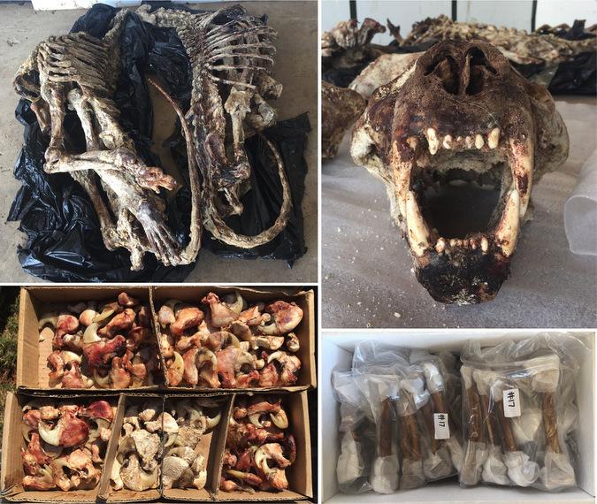 Lion skeletons and skulls
