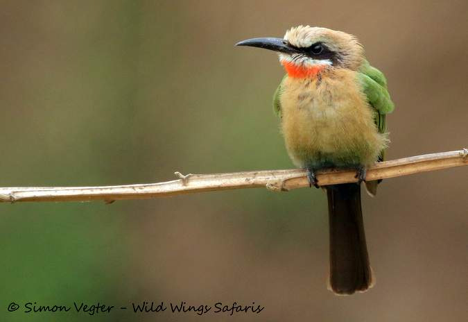 White-fronted bee-eater, bird, Kruger National Park, South Africa