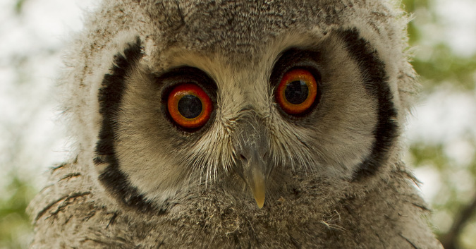 White-faced Owl-© Christian Boix