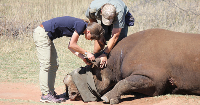Black rhino been given antidote by researchers