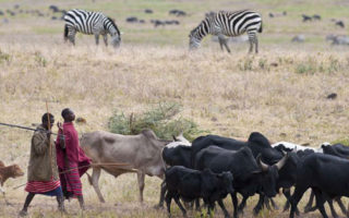 Tanzania, Arusha Region, Ngorongoro Conservation Area, listed as World Heritage by UNESCO, Maasai in Ngorongoro Crater with their herds of cattle