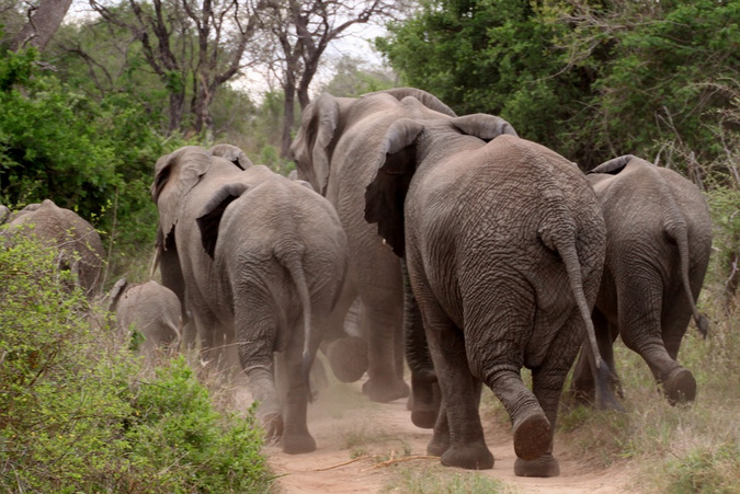 Elephant herd running down a dirt road in the bush
