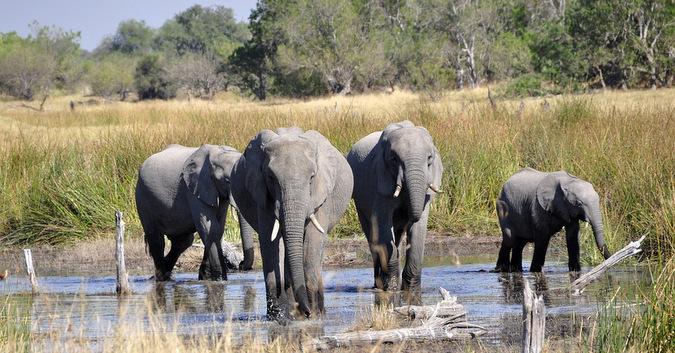 Elephants in the Okavango Delta, Botswana