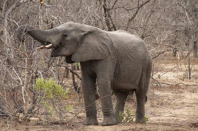 Elephant eating in the Kruger National Park