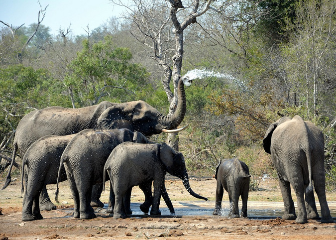 Elephants drinking water at a waterhole