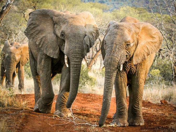 Three elephants in Manyoni Private Game Reserve, South Africa
