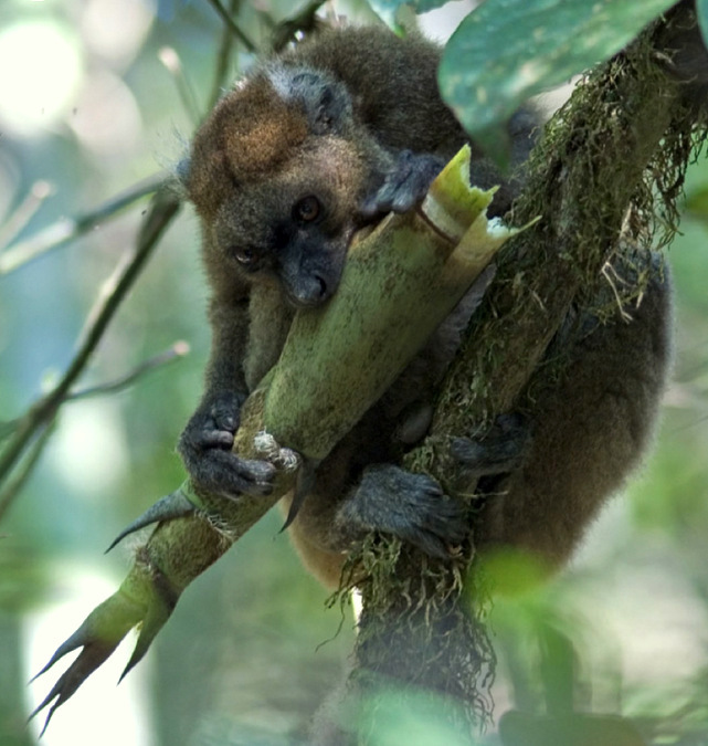 Bamboo lemur eating culm