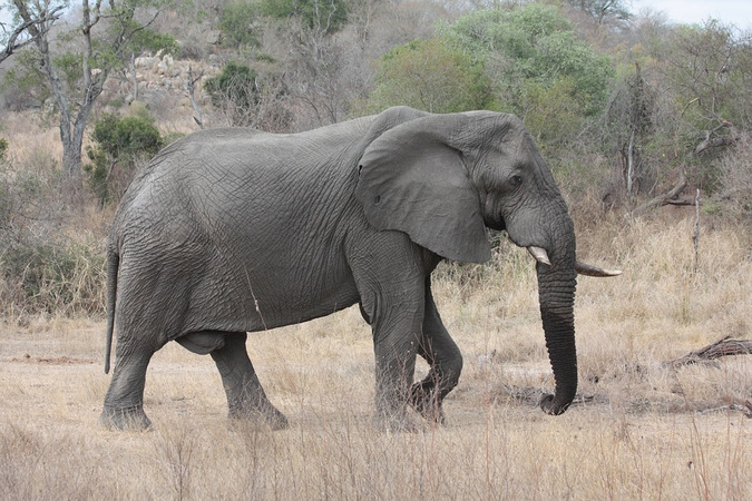 Elephant walking through the bush