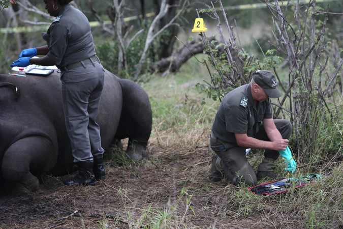 Forensic team examining rhino carcass