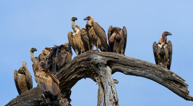 Vultures sitting on a dead tree