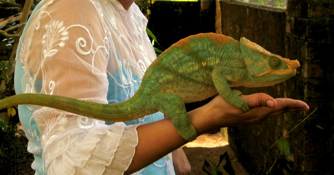 Large Parson's chameleon sitting on an arm