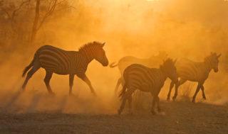 """Dusky zebras"" in the Serengeti, Tanzania © Anthony Goldman"