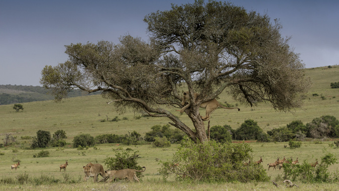 Lion pride playing by a lone tree in Addo Elephant National Park