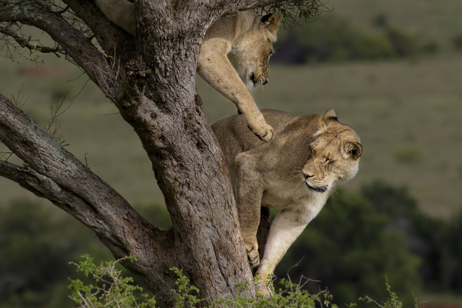 Two lions playing in a tree in Addo Elephant National Park