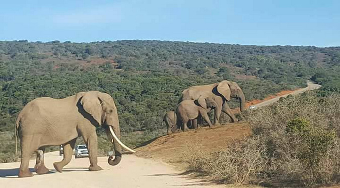 Large bull elephant in Addo Elephant National Park