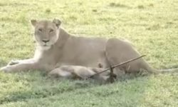 Speared lion cub and its mother