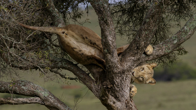 Young lion in a tree in Addo Elephant National Park