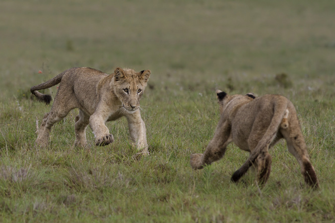 Two lion cubs play-fighting in Addo Elephant National Park