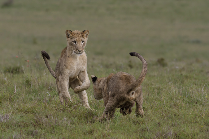 Two lion cubs playing in Addo Elephant National Park