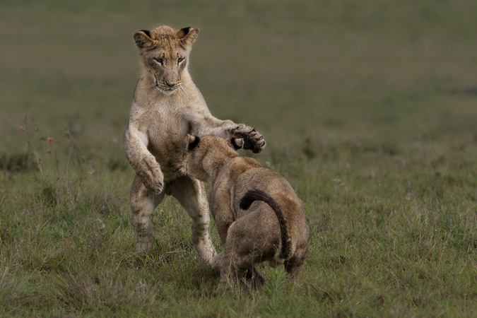 Lions cubs playing in Addo Elephant National Park