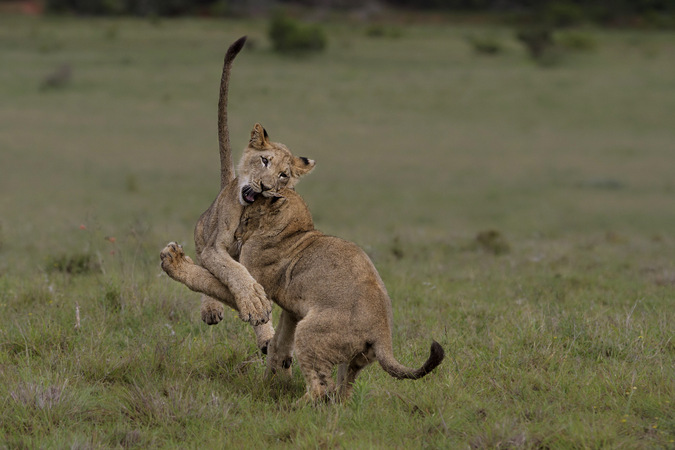 Two lion cubs clash in Addo Elephant National Park