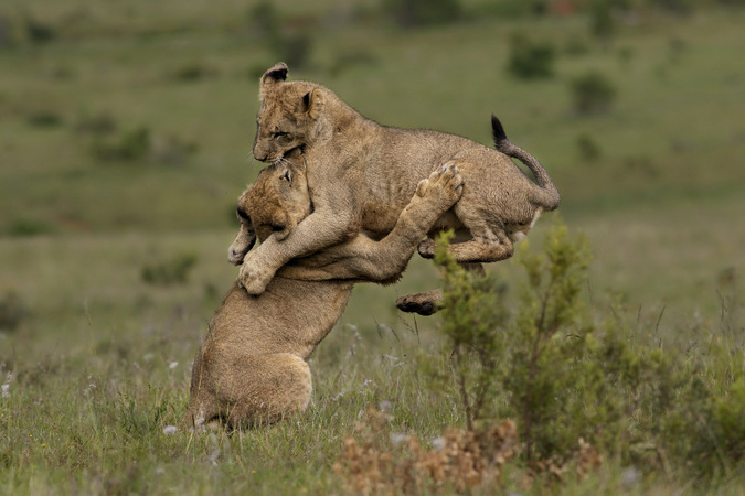 Lion cubs play and tumble in Addo Elephant National Park