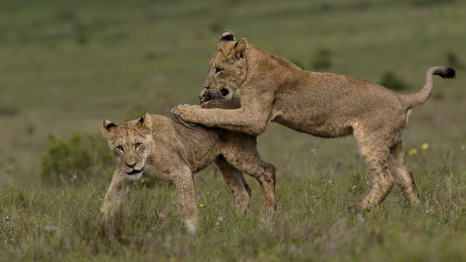 Two lion cubs having fun in Addo Elephant National Park