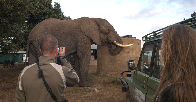 Tourists approaching a wild bull elephant at a campsite near Ngorongoro crater
