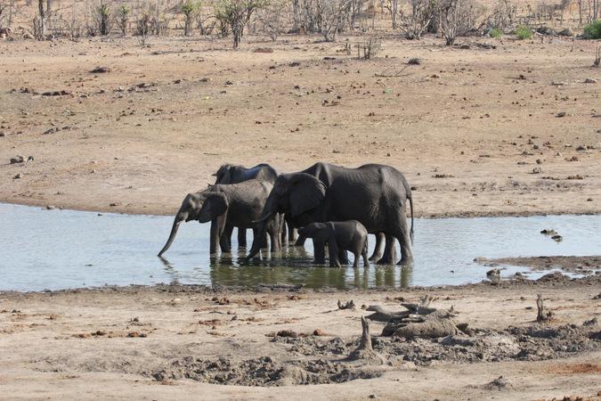 Elephants drinking from waterhole in Hwange National Park, Zimbabwe