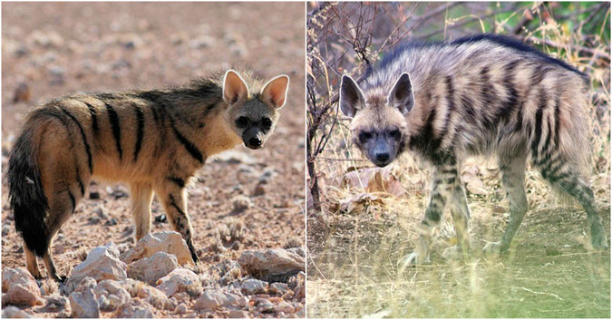 Showing the difference between an aardwolf and striped hyena