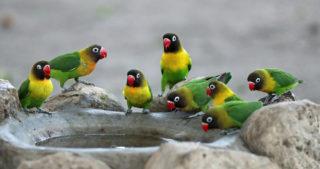 Black-cheeked lovebirds in Little Chem Chem, Tanzania © Anthony Goldman
