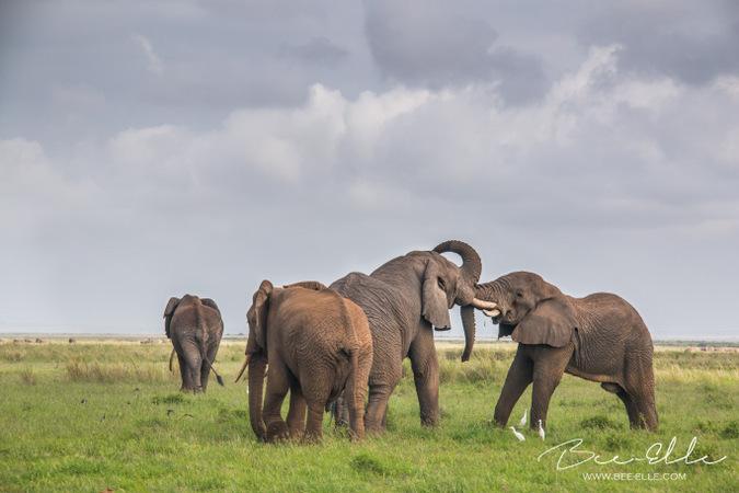 Four wild African elephants