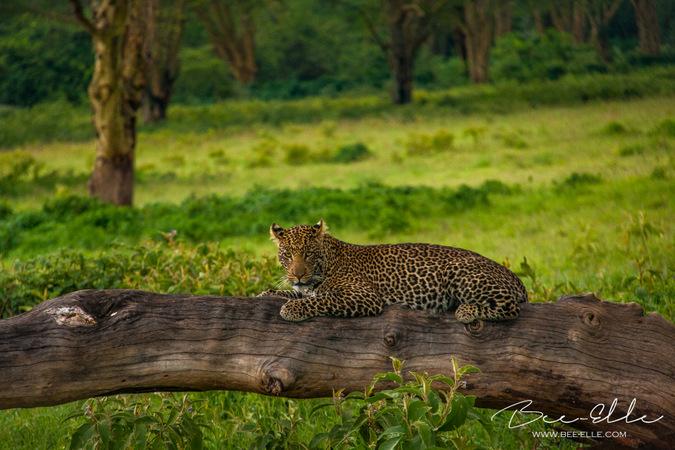 Leopard lying on fallen tree in wild