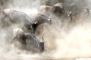 Wildebeests at a river crossing in the Mara Triangle, Kenya © Engin Akış (Instagram/Enginakis)