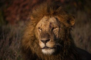 The king during golden light in the Ol Pejeta Conservancy, Kenya © Jaymin Patel