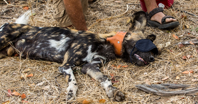 collaring wild dog © Trevor Beckett