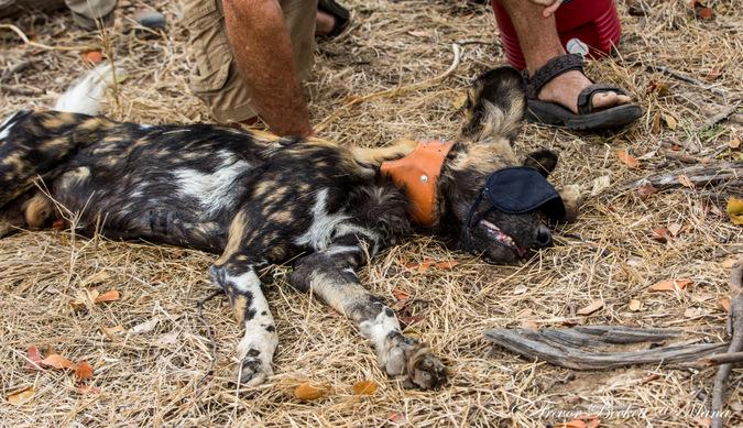 Tranquillised wild dog with collar