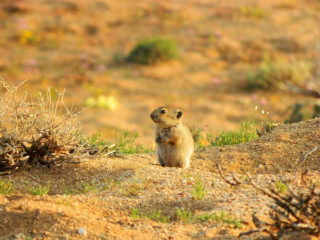 Juvenile whistling rat on the lookout in Goegap Nature Reserve, Namaqualand, South Africa © Jörg Jager