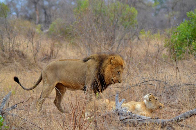 Lion and lioness in the Kruger National Park, South Africa