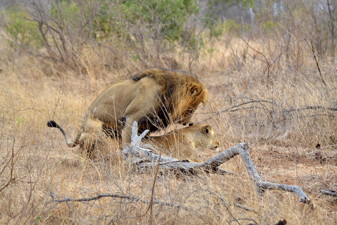 Lion and lioness mating in the Kruger National Park