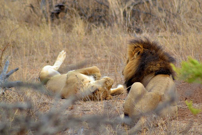 Lion and lioness chilling in the Kruger National Park