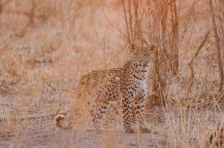 """Last light leopard"" in Savute, Chobe National Park, Botswana © Michael Jansen"