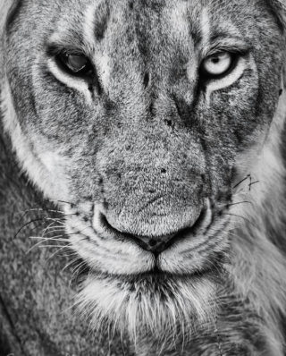 """Lioness with one eye, still a fierce warrior"" in Kruger National Park, South Africa © Garry Mills (Instagram/Millsgarry)"