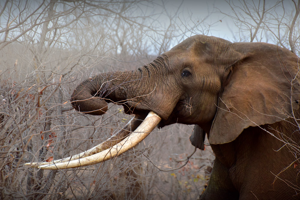 Elephant with magnificent tusks in the Kruger