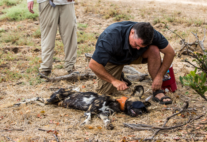 Darted and collared wild dog