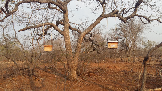 Beehives hang from trees in Jejane Private Nature Reserve