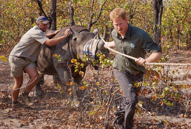 Prince Harry helping to translocate a rhino in Malawi