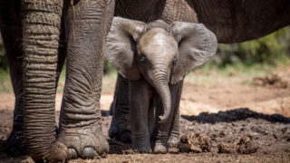 A baby elephant experiences the joy of the waterhole for the first time at Addo Elephant National Park, South Africa © Rachel Price